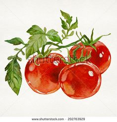 Twig of fresh tomatoes isolated on white background. Watercolor picture - buy this illustration on Shutterstock amp; find other images. Watercolor Food, Watercolor Projects, Watercolor Pictures, Watercolor Background, Watercolor Print, Watercolor Paintings, Watercolors, Botanical Illustration, Watercolor Illustration