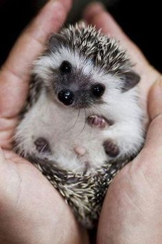 The cutest baby hedgehog you'll see today… - Imgur