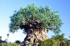 The icon of Disney's Animal Kingdom Theme Park, The Tree of Life, stands 14 stories, features more than 300 animal carvings and is 50 feet wide.