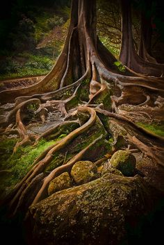 Morton Bay Fig Tree, Allerton Gardens, Kauai, Hawaii; also famous for being filmed in Jurassic Park -a must see in Kauai