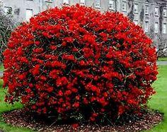 Arbol de membrillo en flor buscar con google - Arbol de membrillo ...