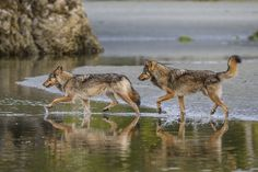 Instead of deer or other terrestrial prey, these sea wolves rely on the ocean for food.