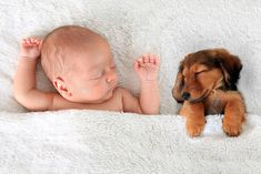 Find Newborn Baby Dachshund Puppy Sleeping Together stock images in HD and millions of other royalty-free stock photos, illustrations and vectors in the Shutterstock collection. Thousands of new, high-quality pictures added every day. Sleeping Puppies, Baby Puppies, Cute Puppies, Newborn Puppies, Newborn Babies, Fur Babies, Wildlife Fotografie, Kitten Images, Unisex Baby Names