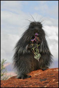 black porcupine