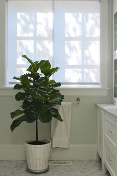 fiddle leaf fig tree in bathroom via Gardenista.