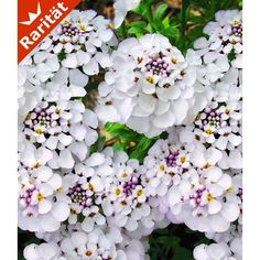 Iberis 'Masterpiece®', 3 Pflanzen - BALDUR-Garten GmbH