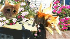 #Koshlandia, Siberian farm cats 1 сентября 2016    КОТЯТА ИГРАЮТ