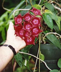 Hoya (flor-de-cera) archboldiana-look how BIG the flowers are!