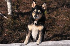 Lapponian Herder dog photo | My dog. Lapponian herder. | LAPPONIAN HERDER/LAPLAND HERDER