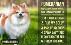 Inquisitive by nature and cute in size, Pomeranians are a true 'toy dog.' Pomeranians are perky and friendly and if you are thinking about getting a puppy Pomeranian Memes, Black Pomeranian, Cute Pomeranian, Siberian Husky Puppies, Husky Puppy, Siberian Huskies, Corgi Puppies, Cute Dog Memes, Funny Memes