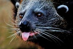 This is an bearcat up close.  This is Chinta the bearcat who apparently busted out of Melbourne Zoo one night, but was quickly found and placed back in her zoo home the next day.   Image source: http://news.ninemsn.com.au/article.aspx?id=312147