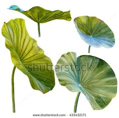 Water Lily Leaf Lotus Leaf Hand Stock Illustration 433432171 in lotus leaf drawing collection - ClipartXtras Lotus Flower Art, Lotus Art, Watercolor Flowers, Watercolor Paintings, Pichwai Paintings, Lotus Painting, Lotus Leaves, Leaf Drawing, Painted Leaves