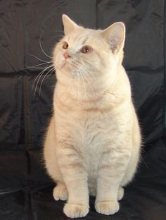 Claude British Shorthair Cat at 9 months    Best pic of the day!