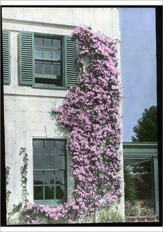 Clematis Montana Rubens, Wall Climbing Plants, Climbing Flowers, Climbing Clematis, Clematis Trellis, Clematis Plants, Rose Trellis, Garden Bed Layout, Green Shutters