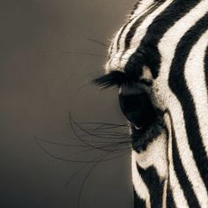 #zebra #eyes wow  #Padgram
