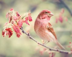 Purple Finch Bird Photography Print