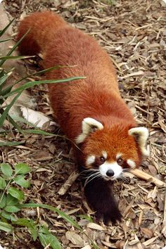Red Panda! I want a red panda tattoo.