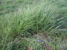 Wallaby grass - native grass forage