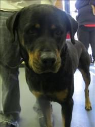 GEORGIA ~ URG'T ~ pinned 11/26 ~~ ID 12-11-4408 is an adoptable Rottweiler Dog in Dallas, GA.  Primary Color: Black Secondary Color: Tan Age: 0yrs 0mths 0wks...Paulding County Animal Control, Dallas, GA  770-445-1511