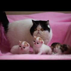 Snoopy the cat, snoopy and family, baby snoopy, meme cat, fabulous cat, sunglasses wearing cat, cats, persians, orange cats