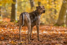 All About the Catahoula Leopard Dog Breed