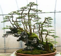 Forest style bonsai growing on rock - a beautiful Bonsai landscape layout…