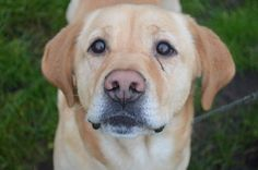 Meet Julian who was homed after the January adoption day! Adoption Day, Rescue Dogs, Labrador Retriever, January, Meet, Puppies, Photos, Animals, Labrador Retrievers