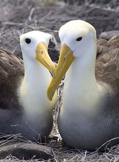 The Waved Albatross - Phoebastria irrorat - is unique in being the largest bird in the Galapagos Islands by Eleanor Briccetti