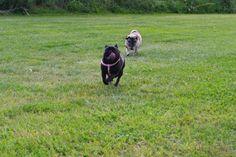 #Pug runner, #Carlino, #Mops, #Time Pug, #Two Pug