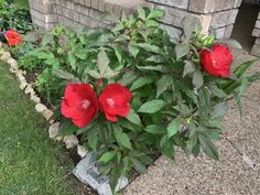 Hibiscus Midnight Marvel - Shrub | Spring Hill Nurseries Hibiscus Bush, Spring Hill Nursery, Shrubs, Nurseries, Bloom, Marvel, Plants, Sweet, Flowers