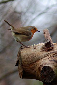 Robin by wilsonaxpe, via Flickr