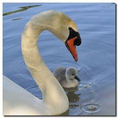 Telle mère, telle... / Like mother, like...   (cygne; swan; bird)