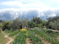 The dramatic Bernia Mountains with Irises in Spring on the Costa Blanca Spain www.lotusvillaspain.com