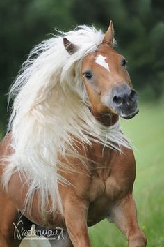 Haflinger stallion Ander - photo by Bettina Niedermayr