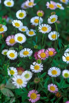Erigeron karvinskainus Garden care: Trouble free. Cut back the flowered stems to ground level in early spring. Lift and divide large clumps every second or third year, discarding the woody crowns.
