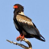 Birds of Prey Sounds