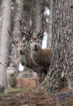 Three Red Deer in Scotland's Highlands