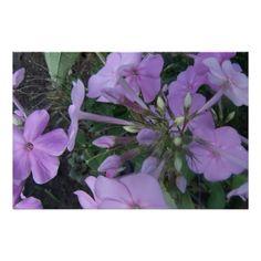 Lavender Phlox Print