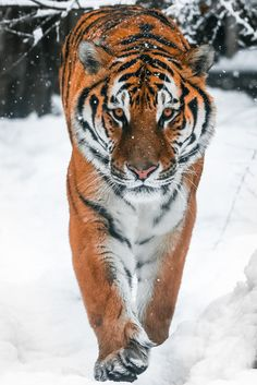 Disappearing Amur Tiger Hunting in snowfall, by Mike Kolesnikov