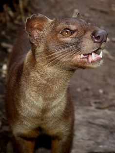 The fossa is a cat-like, carnivorous mammal that is endemic to Madagascar ... It looks a bit like a small Cougar