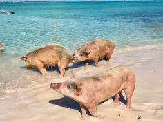 Swimming Pigs, the Exumas, Bahamas
