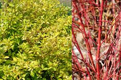 Klehm's Song Sparrow Farm and Nursery--Woody Plants--Cornus sericea Erika the Blonde<sup>TM</sup> ('KLM RR')