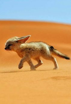 "Fennec the Soul of the Desert. Photography by @ (Francisco Mingorance). ""The fennec, or desert fox is a canine mammal species of the genus Vulpes, which inhabits the Sahara Desert and Arabia. Cute Little Animals, Cute Funny Animals, Cute Animal Humor, Nature Animals, Animals And Pets, Desert Animals, Wild Animals, Friendly Fox, Tier Fotos"