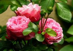 The basics of growing roses david austin gardening tips, ideas & diy projects for 2017 1000 about caring. Rose you can have the perfect rose garden b. Wonderful Flowers, Beautiful Roses, Epsom Salt For Roses, Rose Bush Care, Rose Images, Growing Roses, Ferrat, Blooming Rose, Rose Oil
