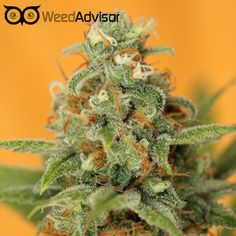#MarleysCollie is an #indica-dominant #hybrid. These sticky, spiky buds offer a pungent sweet aroma with musky Afghan undertones, delivering effects that are strong in both physical and cerebral sensation