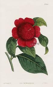 Image result for antique botanical prints