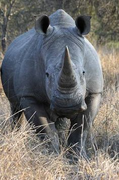 White rhinoceros (Ceratotherium simum) Unless we Unite to stop the MURDER of the Rhino for the Sole Reason of selling there horn, they will Disappear Forever!!!!!