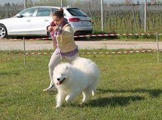 Samoyed on the run! / Ecco un samoiedo!