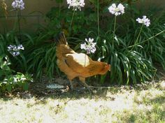 Chicken resistant plants (USDA zone 9-10/Sunset zone 22) Many are drought tolerant, too. -- I was wondering what I could grow that my chickens wouldn't destroy when I let them out to forage daily. This is great!!