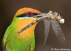 Bohm's Bee-Eater Dragonfly prey Unlike most bee-eaters, breeding cavities are excavated on flat, or nearly flat ground. Neat tunnels are dug at about a 45 degree angle into well drained (usually sandy) soils. These burrows are usually about 1 m long.